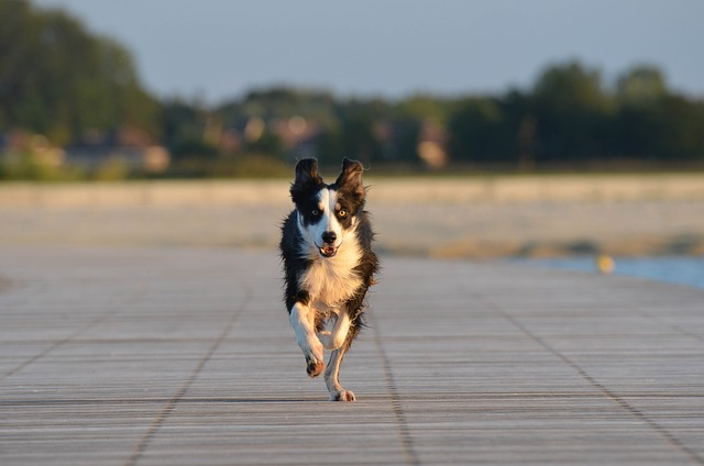 border-collie-672596_640
