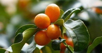 Znáte kumquat? Výborný miniaturní pomeranč!