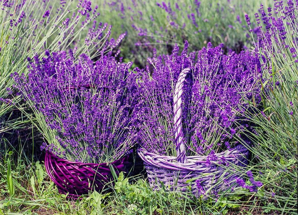 lavender-1478111_960_720