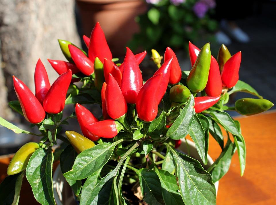 Vypěstujte si vlastní chilli papričky v květináči